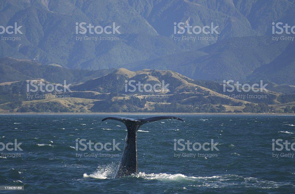 whale at sea kaikoura New Zealand stock photo