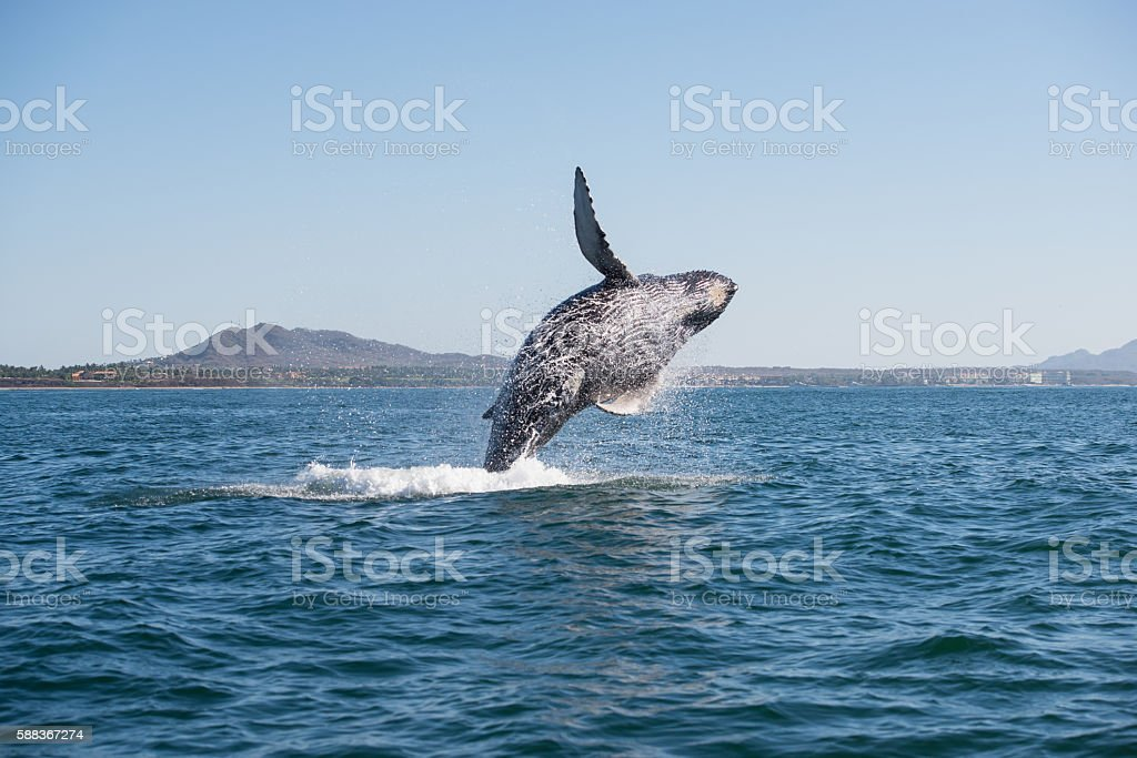 Whale breaching 2 stock photo