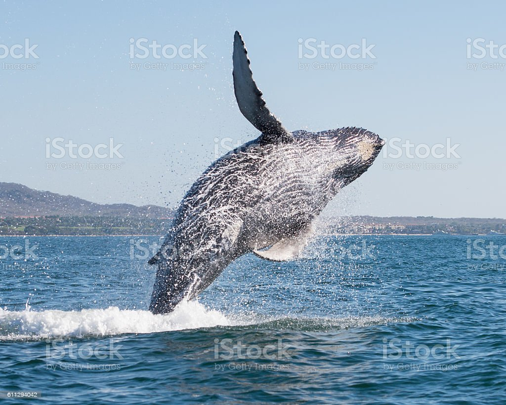 Whale breaching 3 stock photo