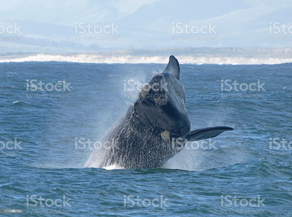 whale breaching royalty-free stock photo