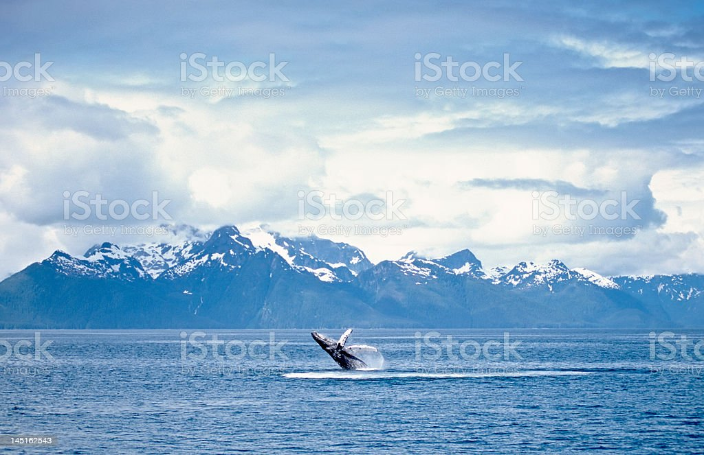 A whale breaching the surface of an ocean stock photo