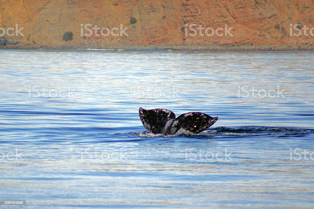 Whale diving along California coast stock photo
