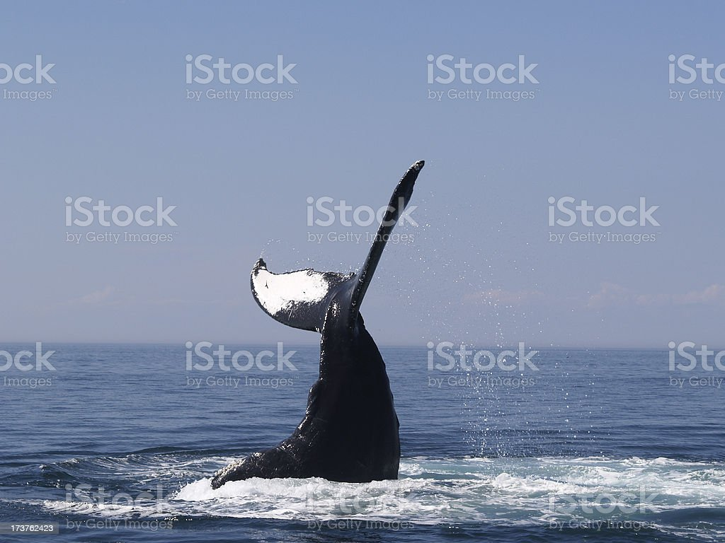 Whale Diving stock photo