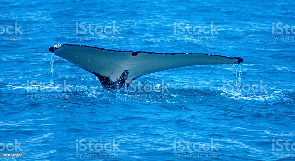 Whale, near Husavik stock photo