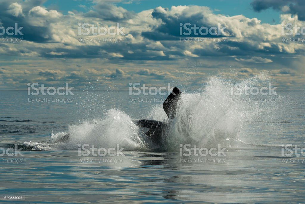 whale Patagonia Argentina stock photo