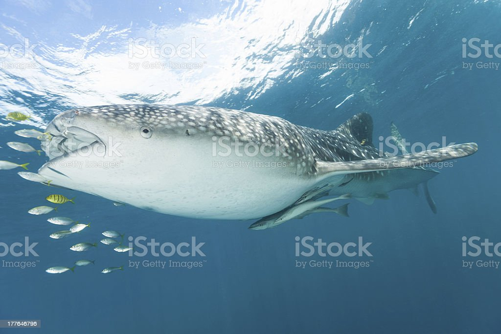 Whale Shark and his Fish Companions, Cenderawasih Bay, Indonesia stock photo