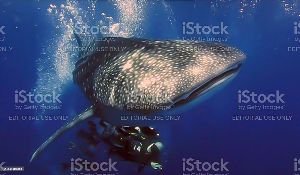 Whale Shark (Rhincodon typus) and Scuba Diver stock photo