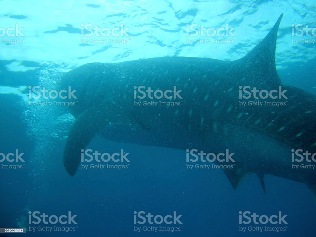 Requin-baleine grand la bouche photo libre de droits