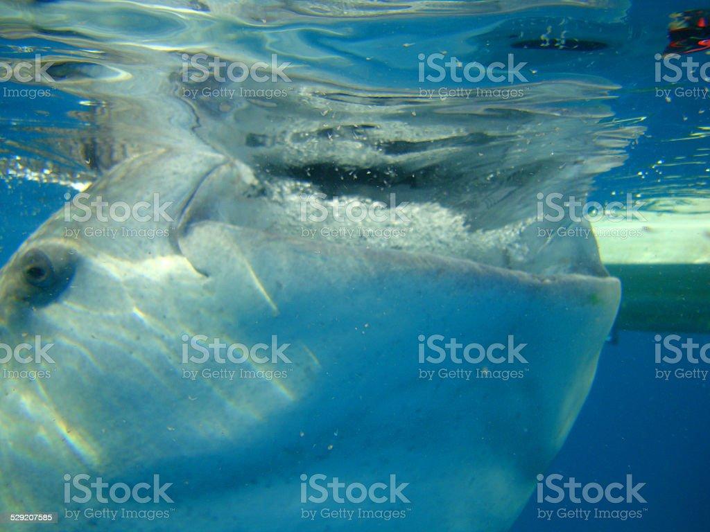 Requin-baleine gros plan photo libre de droits