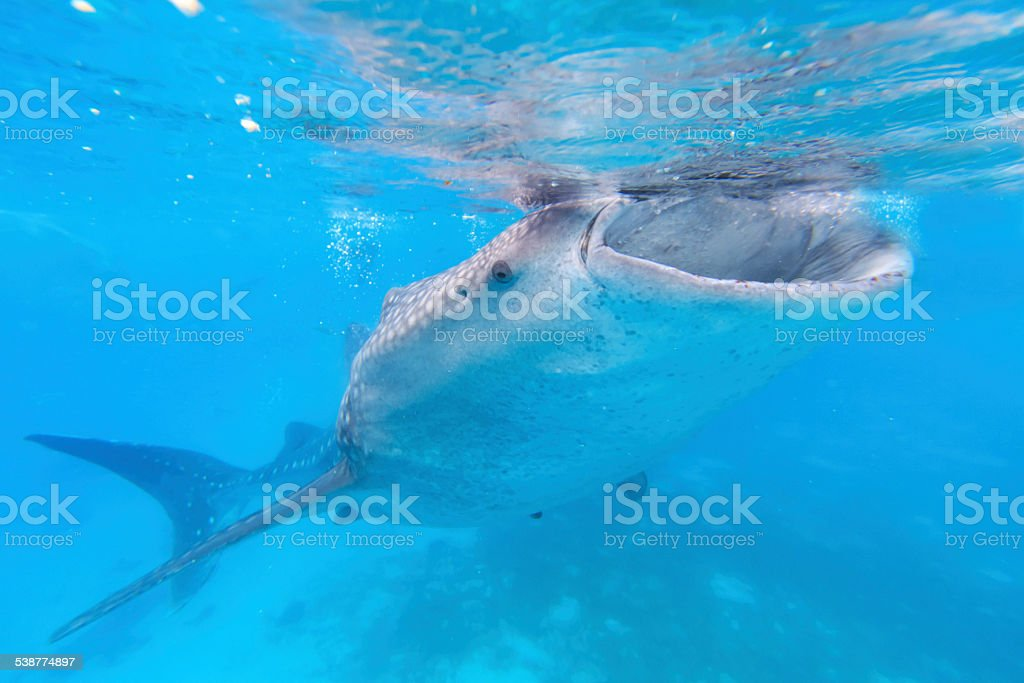 Whale shark in the Philippines, Oslob stock photo