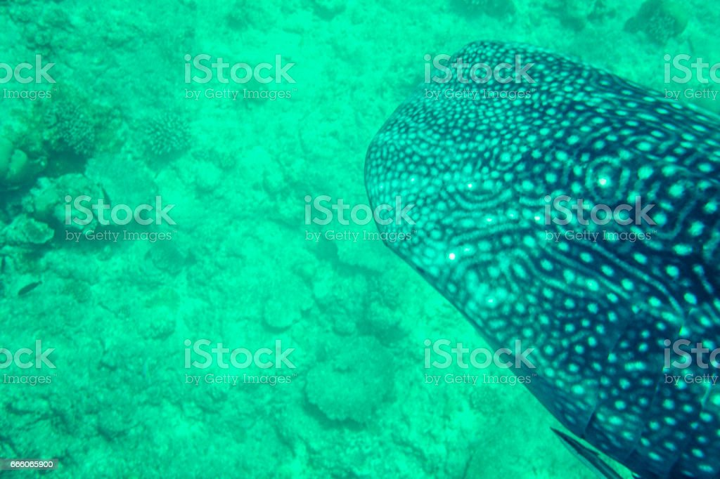 Whale shark near surface stock photo