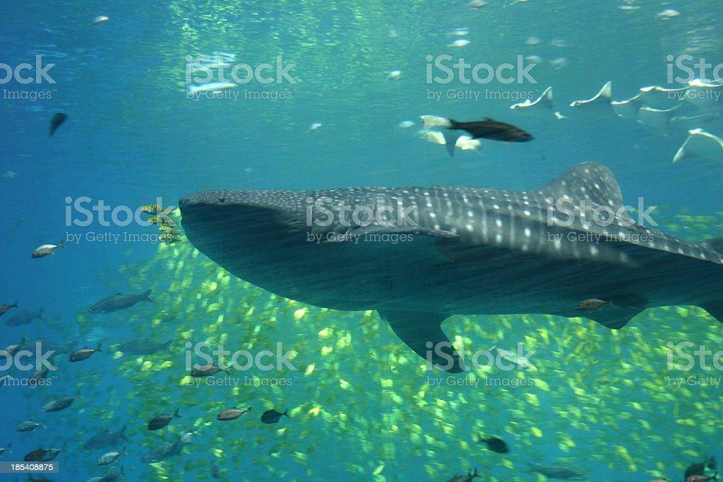 Whale Shark royalty-free stock photo