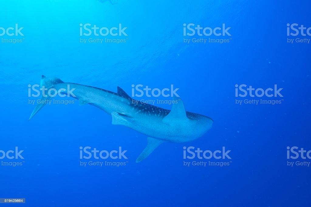 Tubarão-baleia foto de stock royalty-free