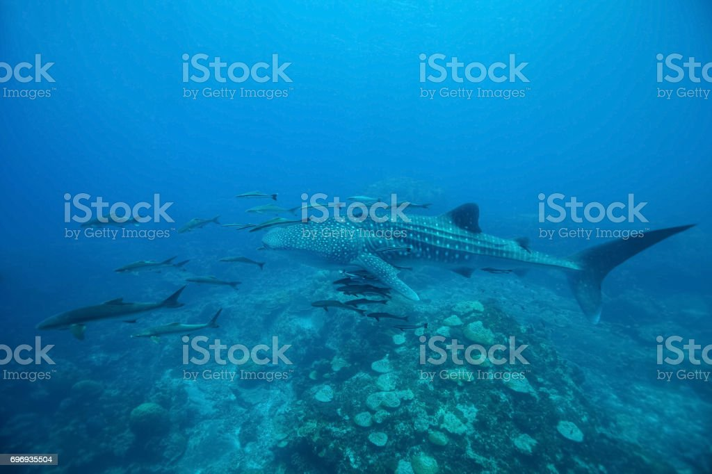 Whale Shark (Rhincodon typus) swimming  at  crystal clear blue waters near the surface at Ko Losin  . the Gulf of Thailand . Marine life and underwater scene, sun rays and sunlight. stock photo
