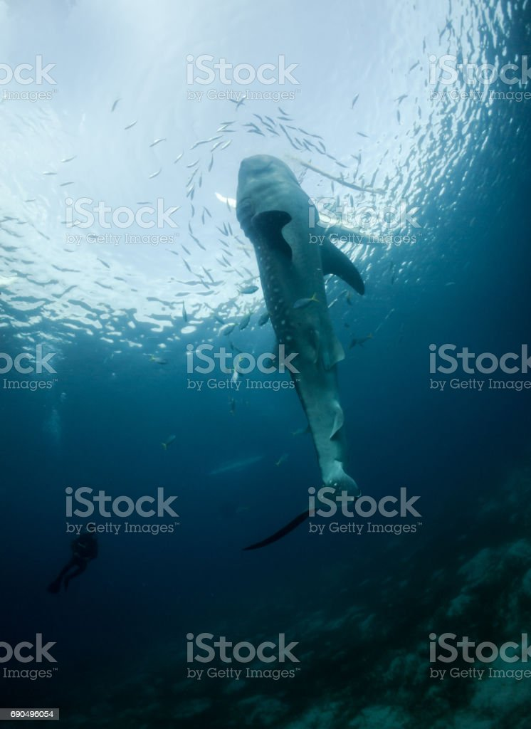 Whale sharks are fed by the fishermen in Oslob, where tourists go to see the huge fish. stock photo