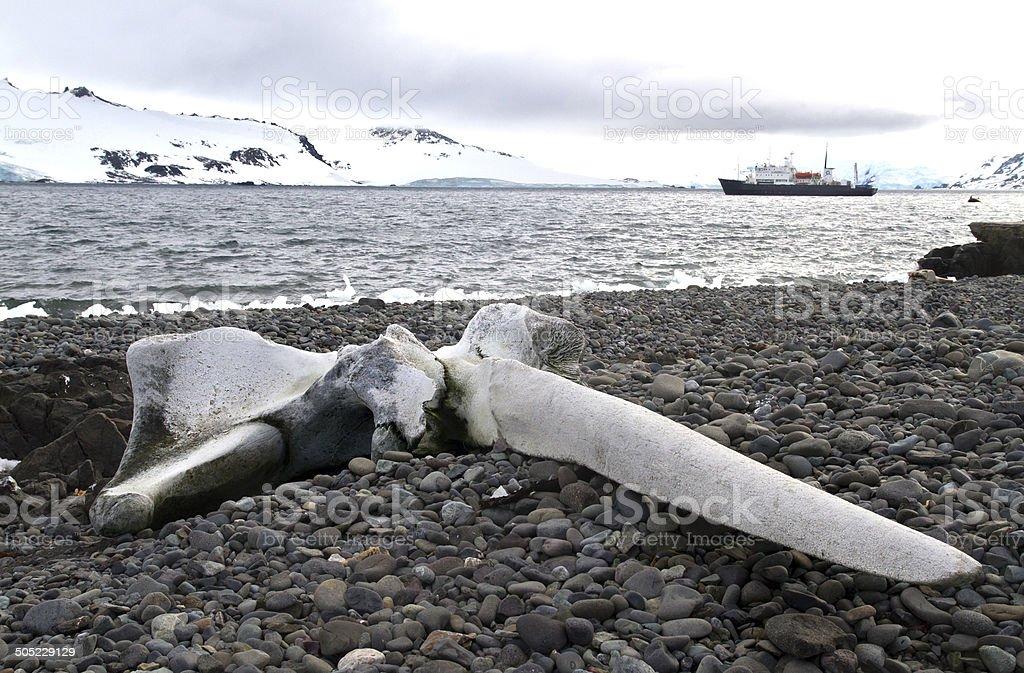 Whale skull lying on the beach of King George Island stock photo