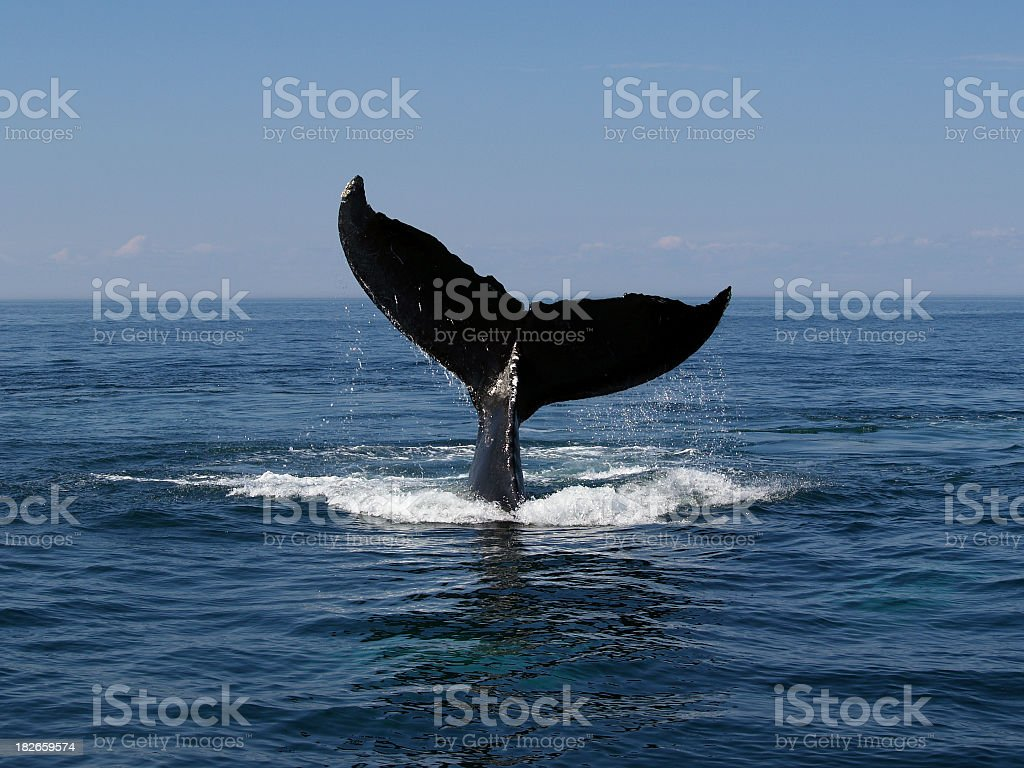 Whale tail above water as whale dives royalty-free stock photo