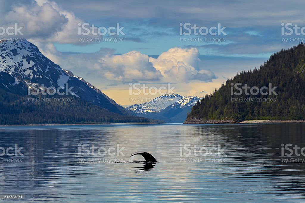 Whale Tail in calm waters Alaska stock photo