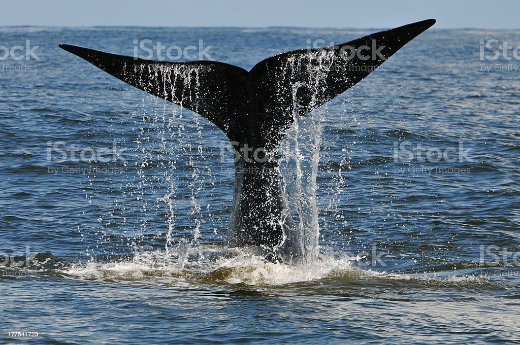 Whale tail slapping, Hermanus, South Africa stock photo