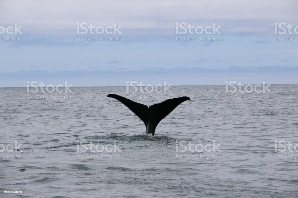 Whale tail. Whale watching in Kaikoura, New Zealand stock photo