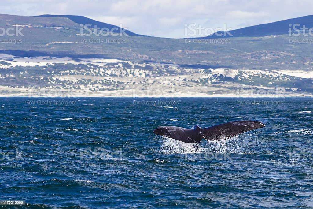 Whale watching in Hermanus, South Africa stock photo
