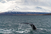 Whale Watching near Akureyri in Iceland