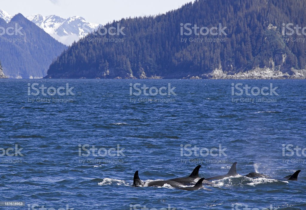 Whales in Resurrection Bay stock photo
