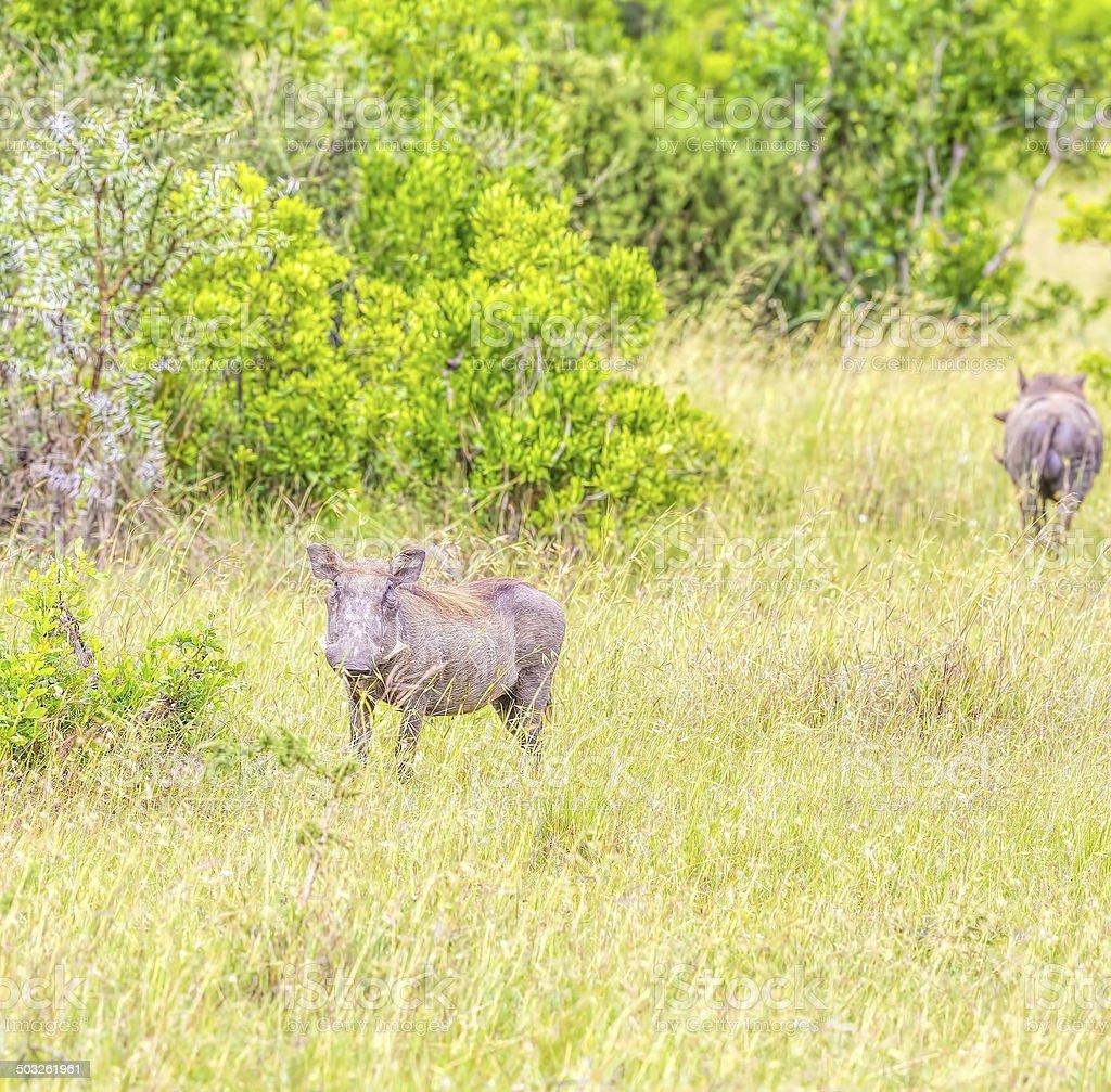 Wharthogs royalty-free stock photo