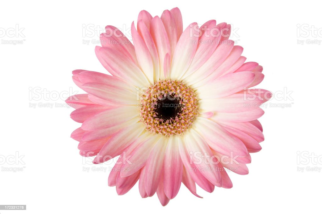 What A Daisy! (XL) stock photo