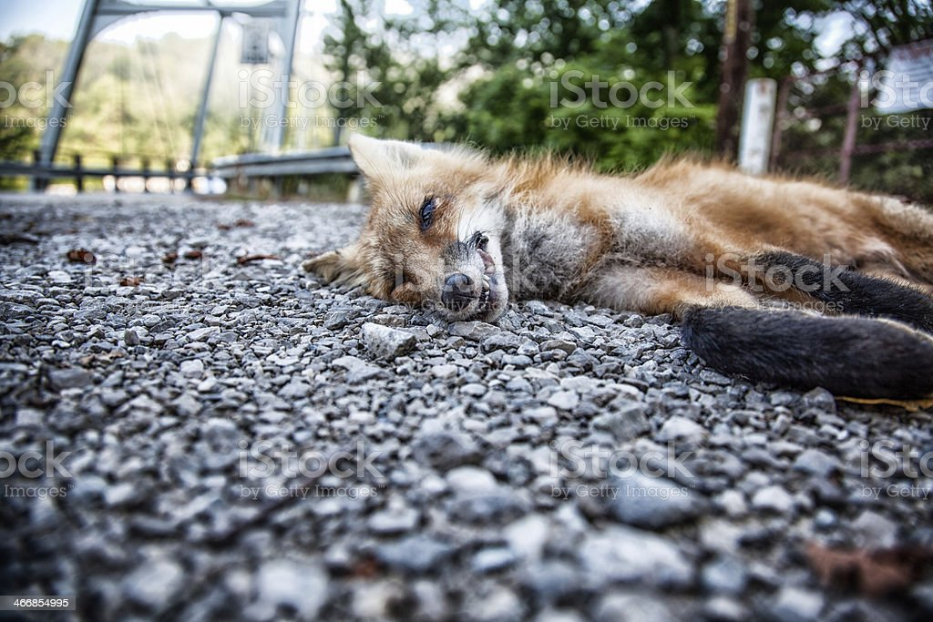 What Does the Fox Say? royalty-free stock photo