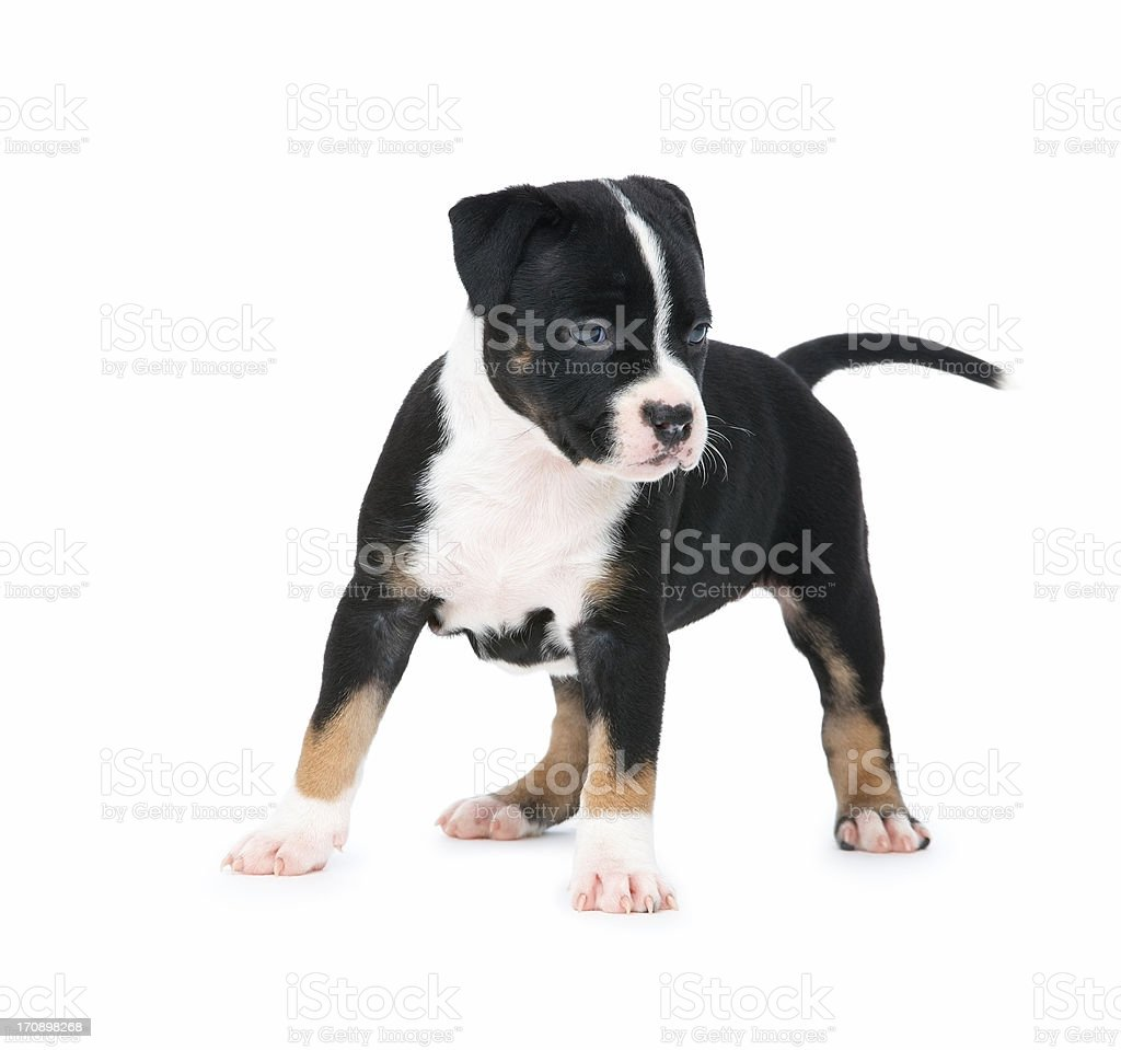 Whats that? - Cute puppy dog standing on white royalty-free stock photo