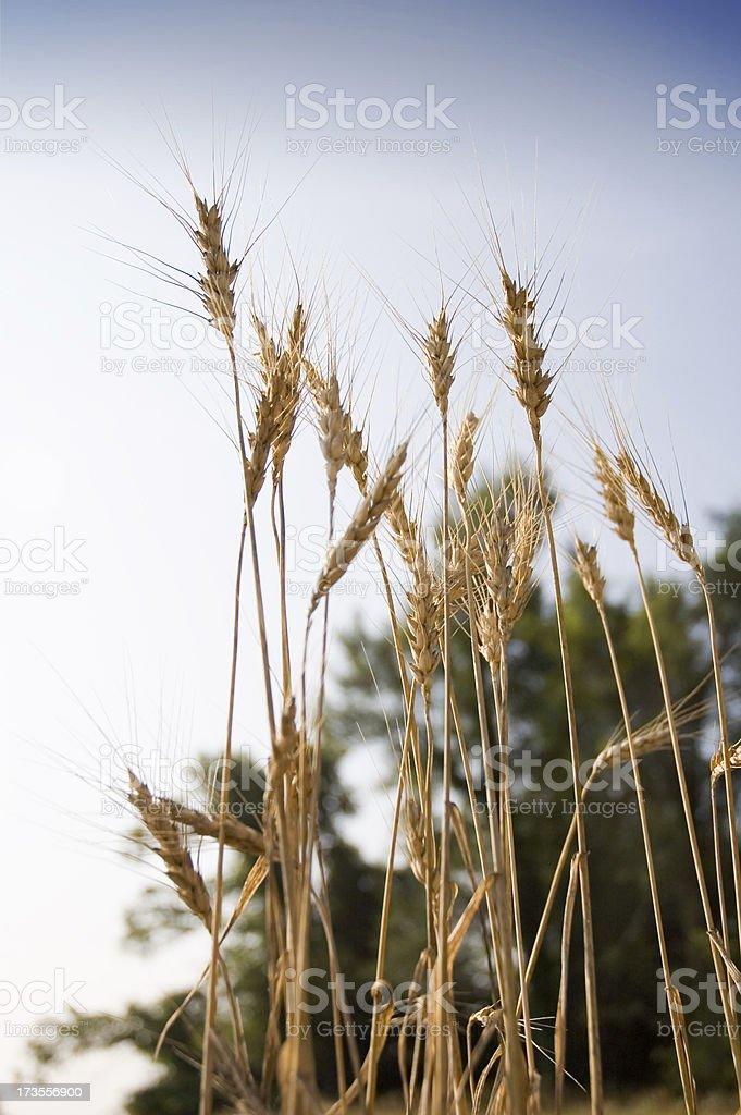 Wheat 1 stock photo