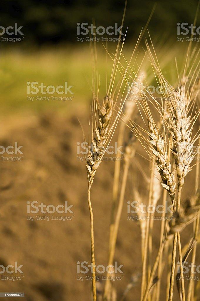 Wheat 3 royalty-free stock photo