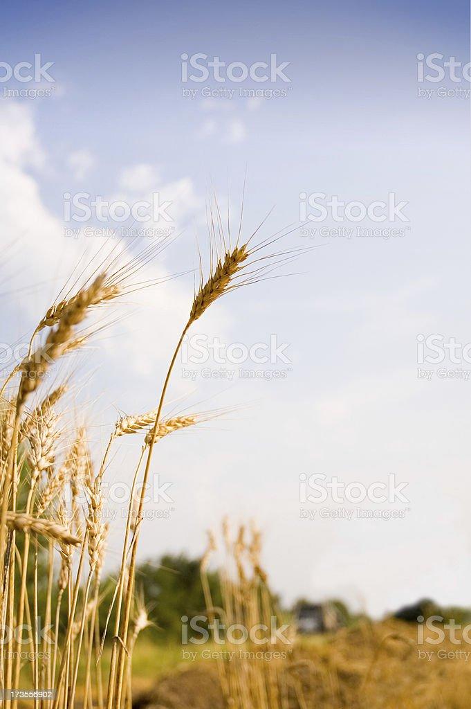 Wheat 4 royalty-free stock photo