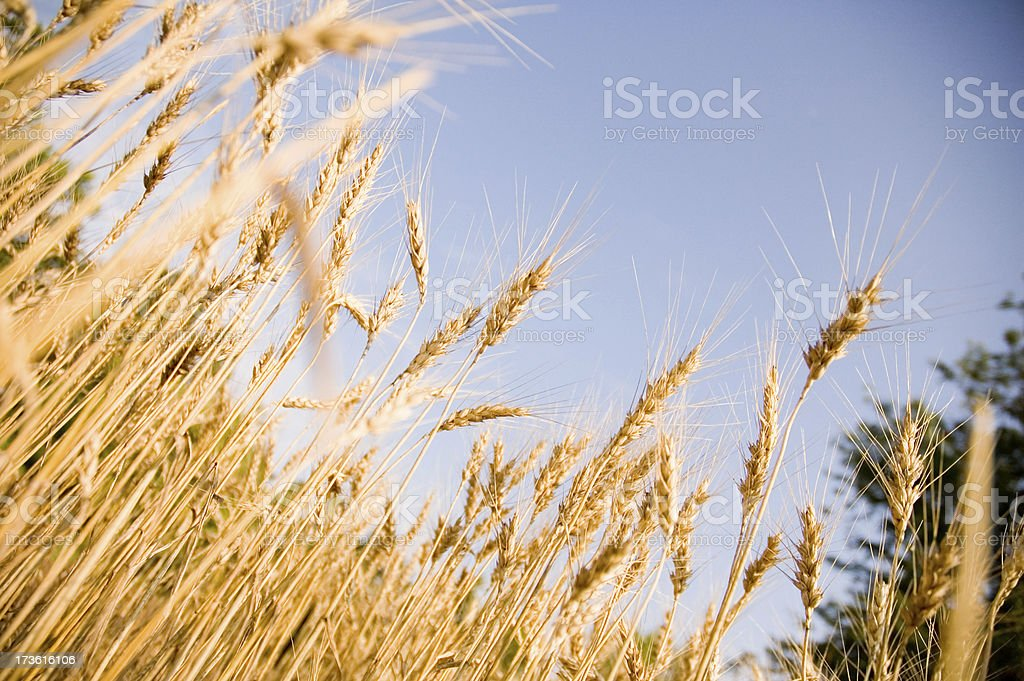 Wheat 5 stock photo