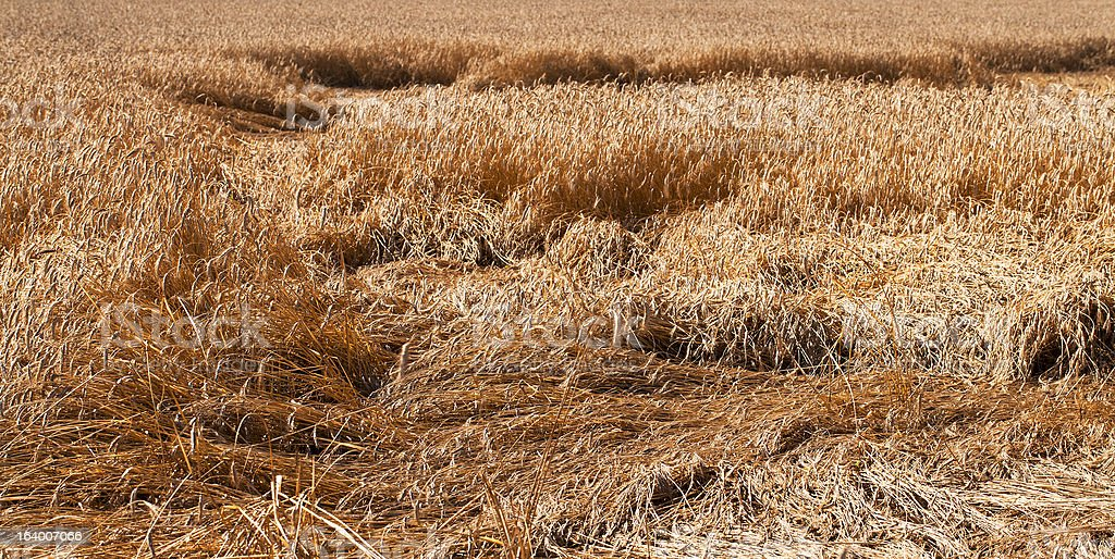 wheat after  storm stock photo
