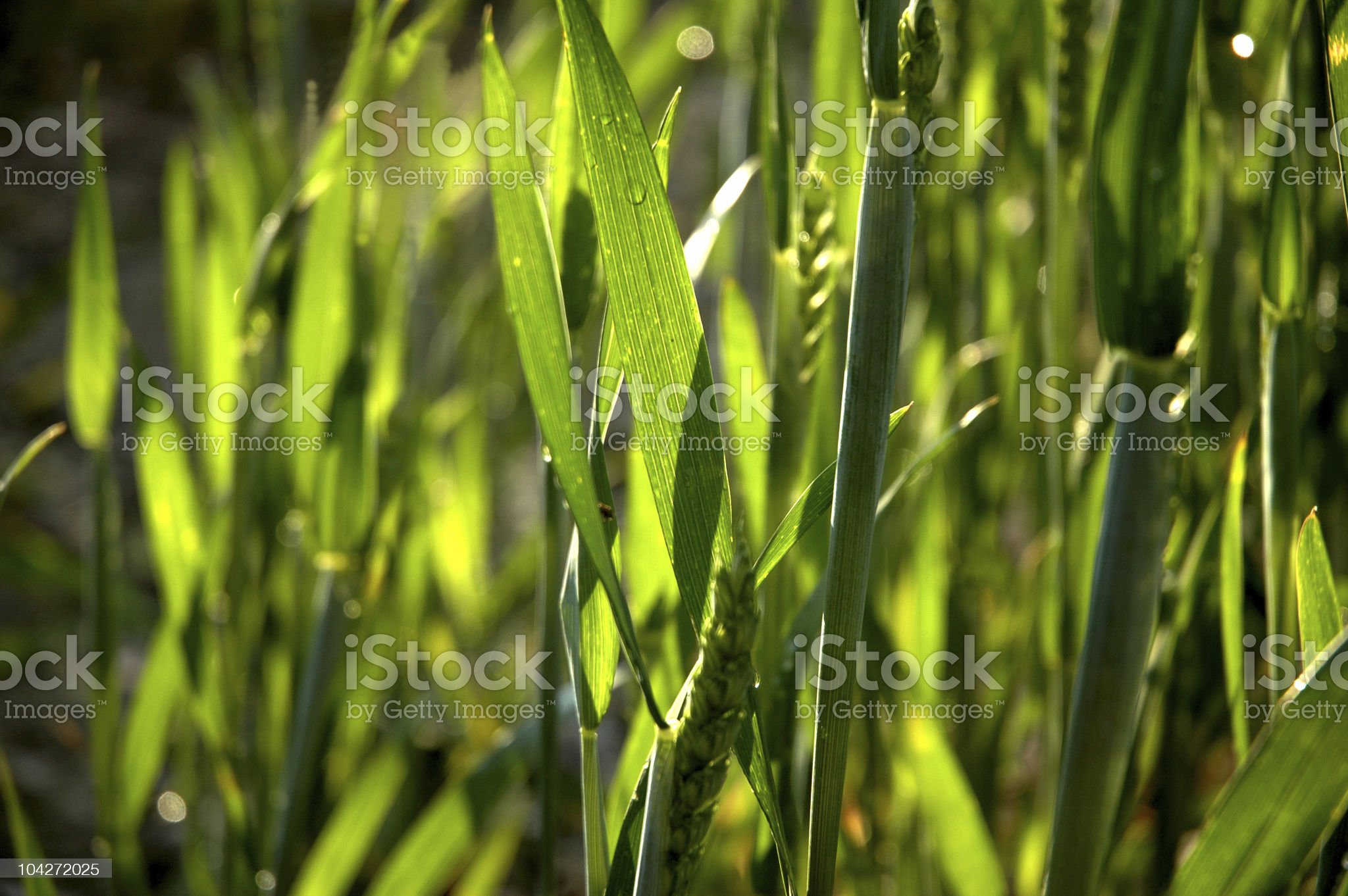 Wheat after the rain close-up royalty-free stock photo