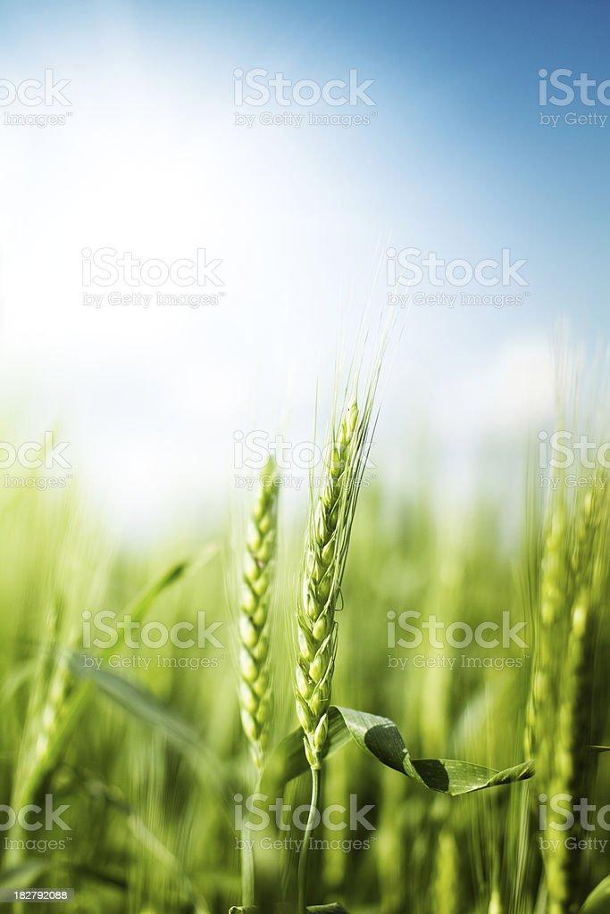 Wheat against bright sun stock photo