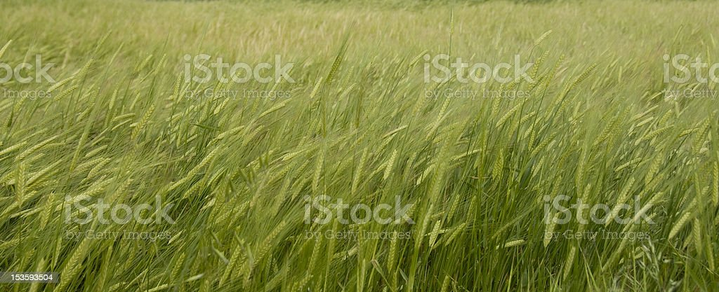 Wheat Agriculture stock photo