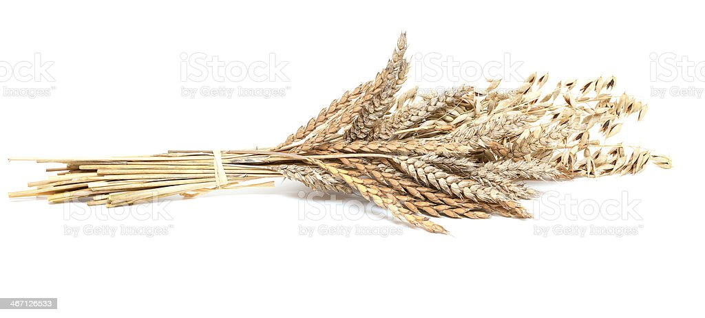 wheat and barley isolated on white background stock photo
