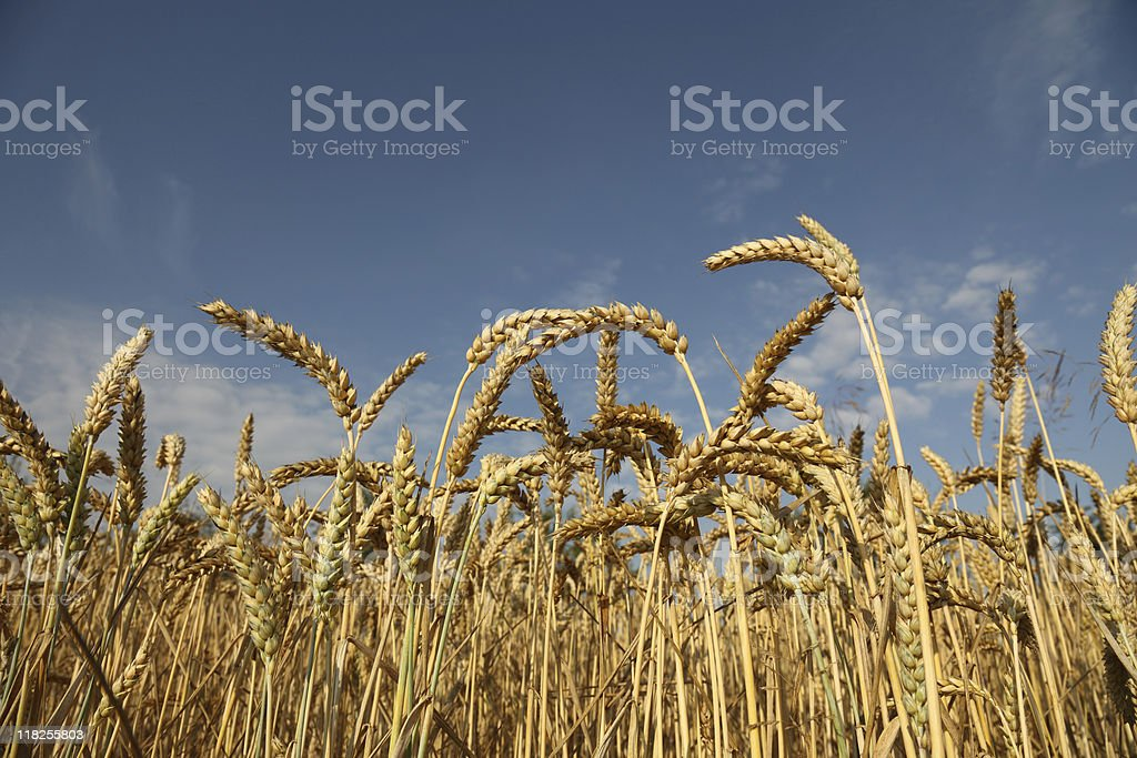 wheat and blue sky in summer stock photo