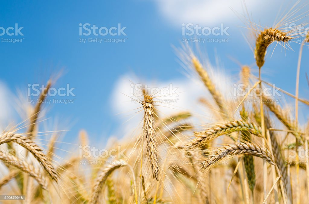 Wheat and blue sky stock photo