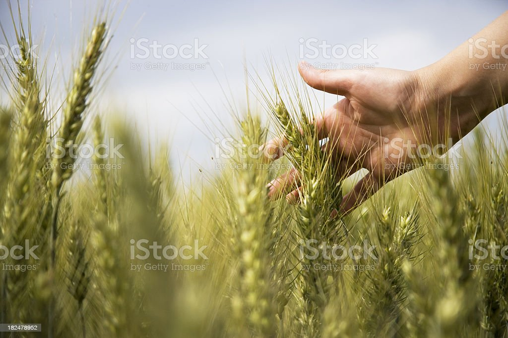 wheat and delicate hand stock photo