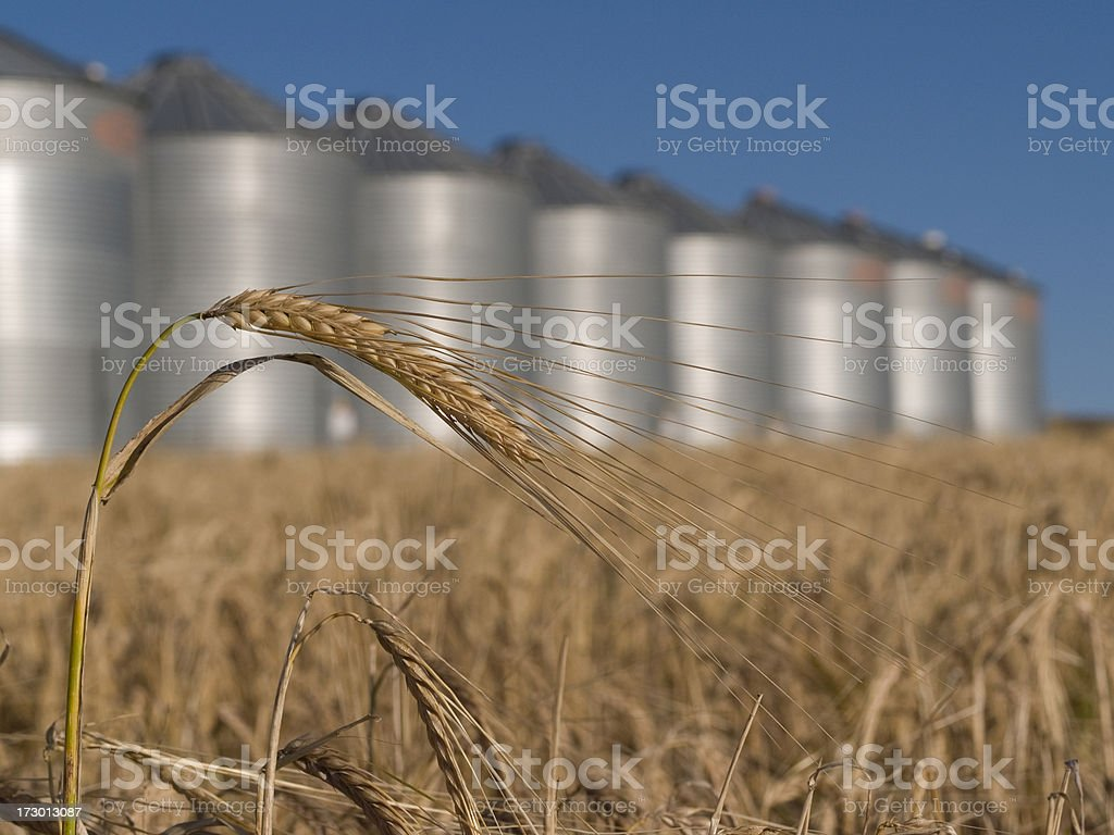wheat and grain bins royalty-free stock photo