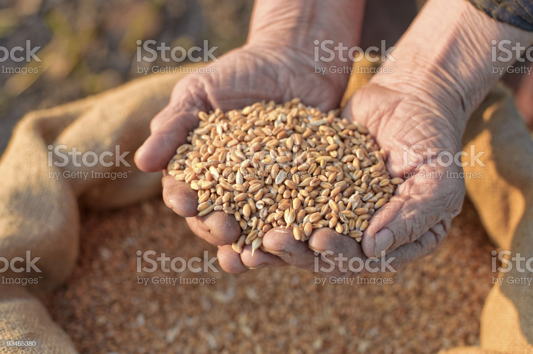 Wheat and hands of the old farmer royalty-free stock photo