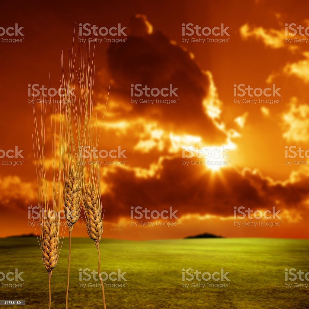 Wheat and landscape over sunset stock photo