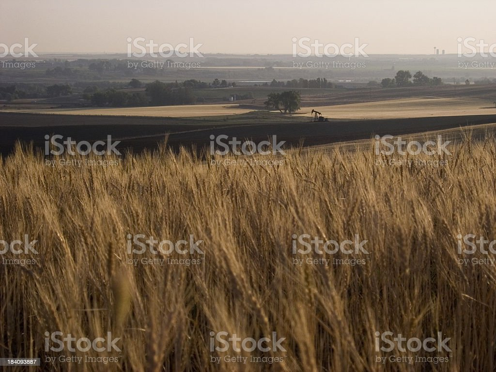 wheat and oil royalty-free stock photo
