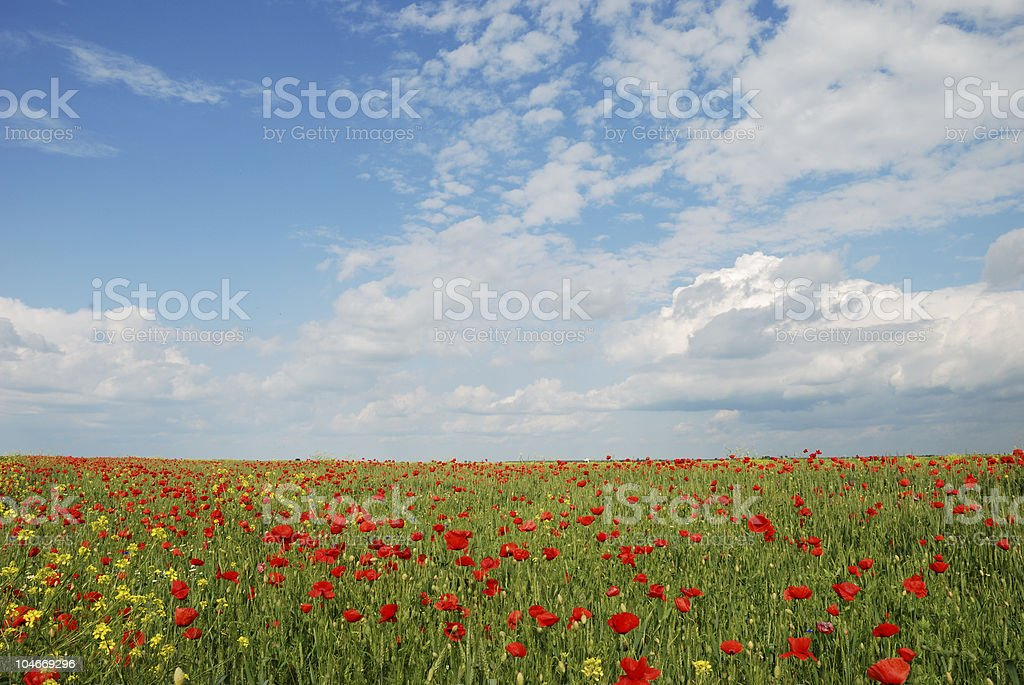 wheat and poppy field with blue sky royalty-free stock photo