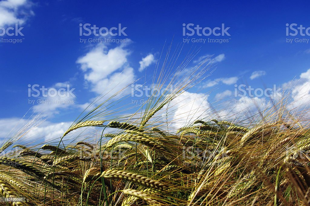 Wheat and sky 2 stock photo