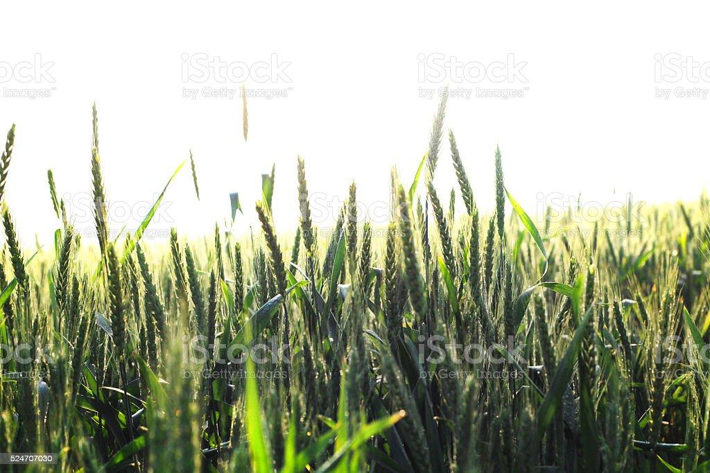 Wheat And Sunrise stock photo